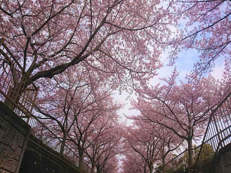 大阪柏原聖地霊園 満開の桜並木