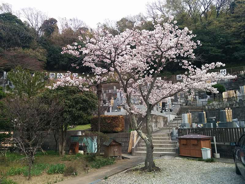 般若院 苑内にある桜の木