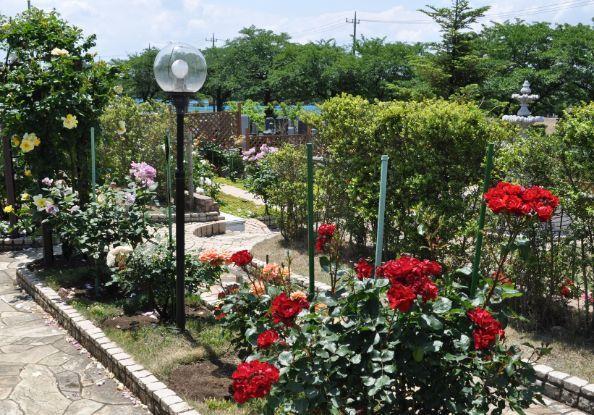 美園桜ヶ丘 無量寺霊園に咲き誇るバラの花