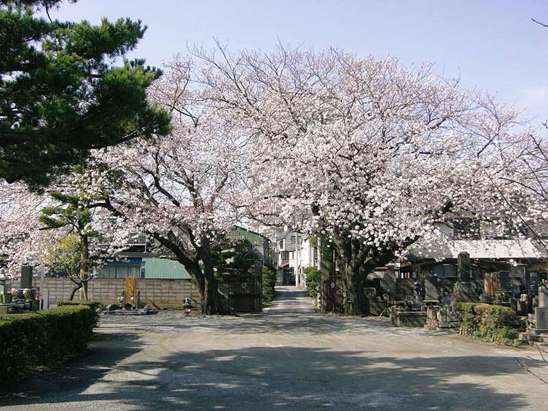 無量寺 園内の鮮やかな桜