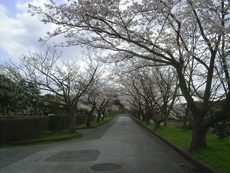 市原市営 海保墓園 参道沿いは桜並木