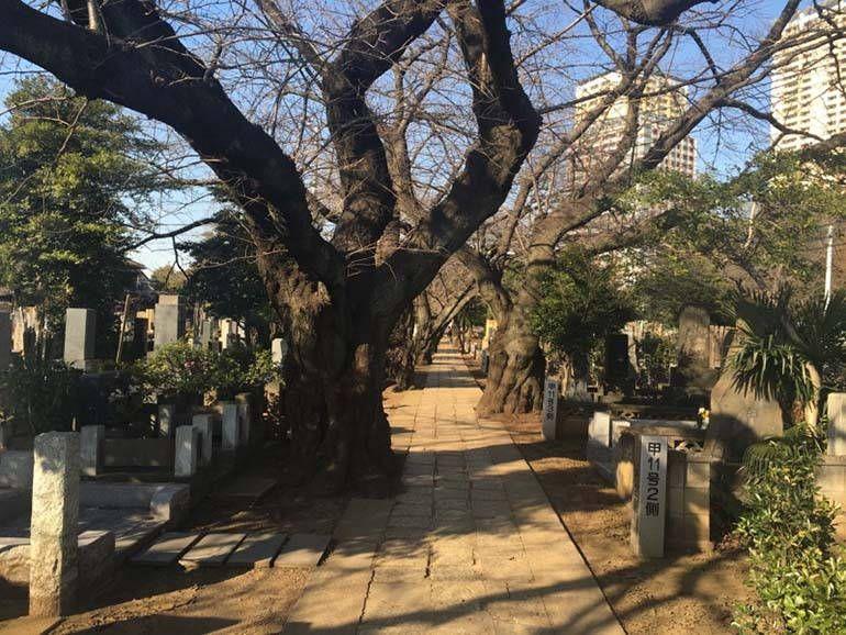 都立 谷中霊園 立派な木々に囲まれた参道