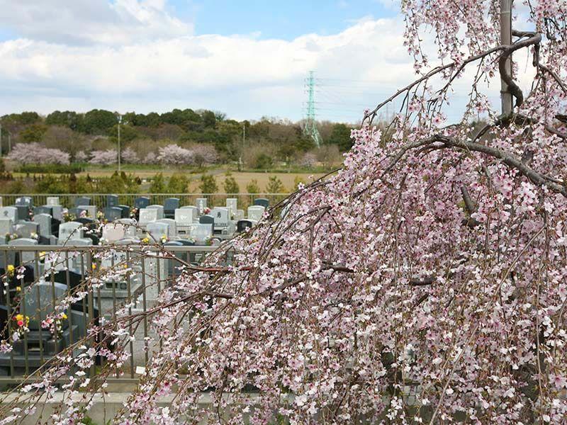 メモリアルパーク緑の丘 霊園横で咲く桜