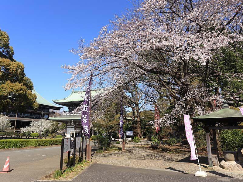 大本山 總持寺(総持寺) 桜が咲く参道