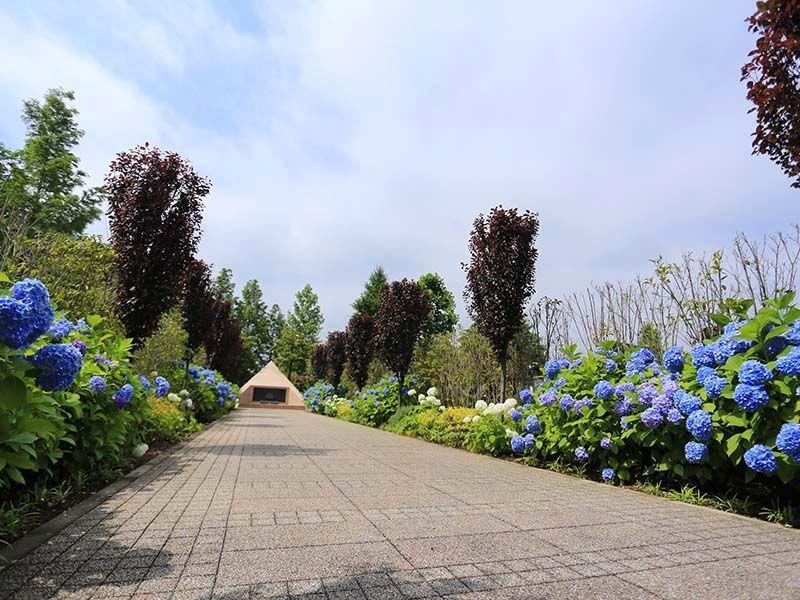 海老名フォーシーズンメモリアル アジサイが咲きほこる広い参道
