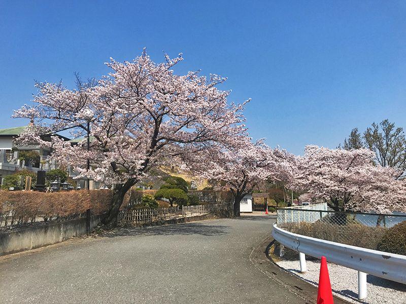 森林公園昭和浄苑「&安堵」 苑内に咲く桜