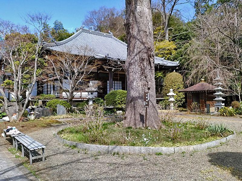 大倉山熊野霊園 「法華寺」の境内にある大きなイチョウの木