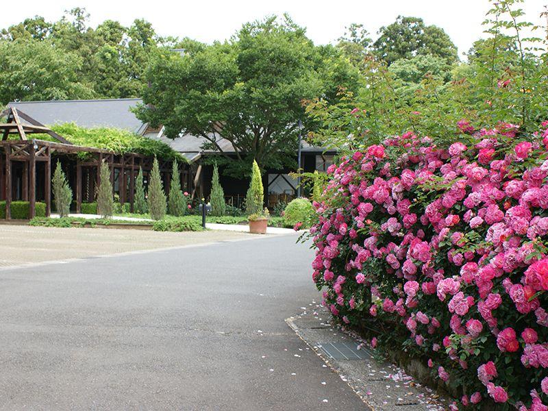佐倉ふれあいパーク 咲き誇るバラの花