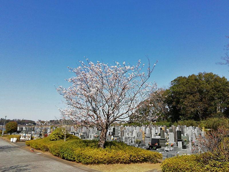 柏湖南聖地公苑 苑内にある桜の木