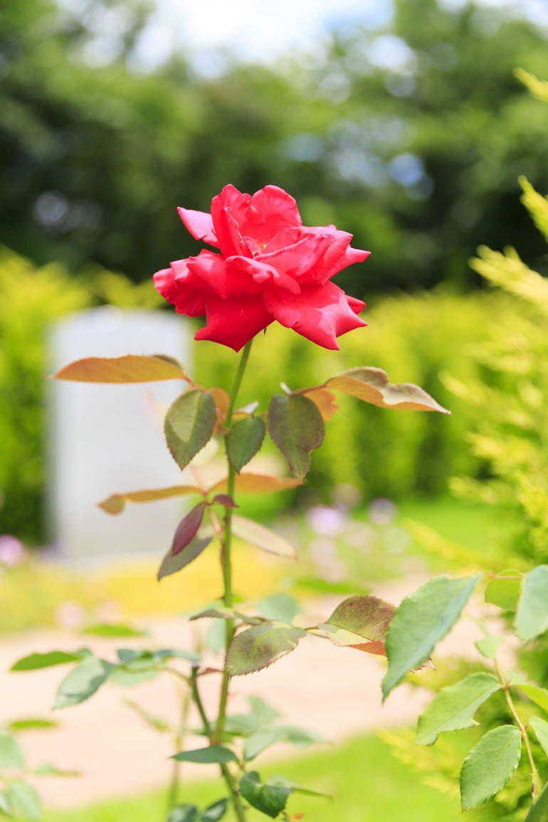 ふれあいの杜 天空 鮮やかな赤いバラ