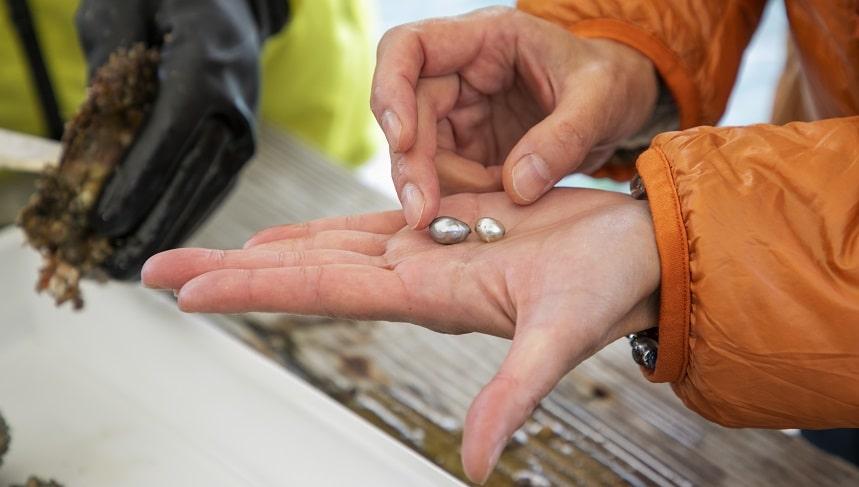 取り出されたばかりの真珠