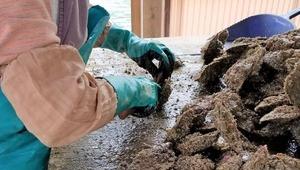 アコヤガイの掃除