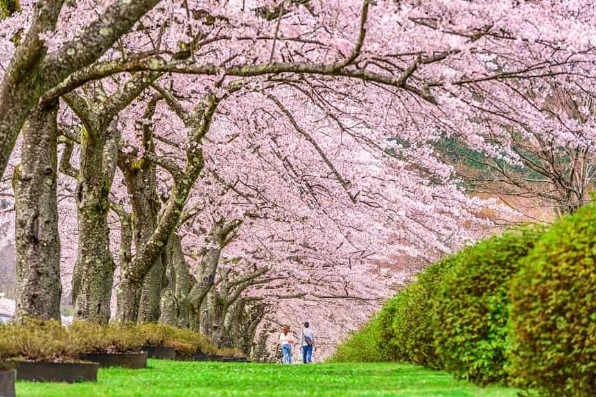 満開の桜並木を歩くカップル