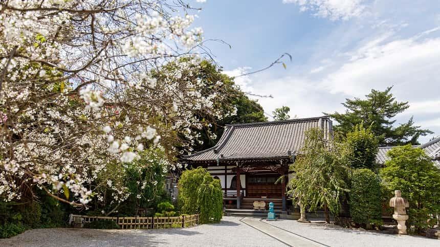 本長寺のしだれ桜