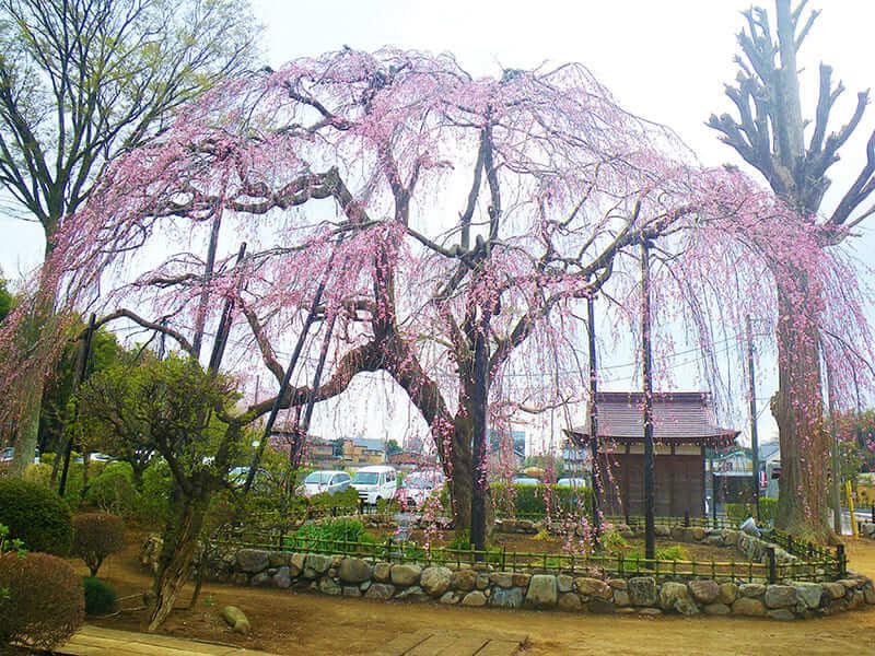 櫻乃丘聖地霊園名物のしだれ桜