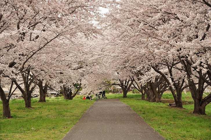さいたま市営霊園 思い出の里 満開の桜と遊歩道