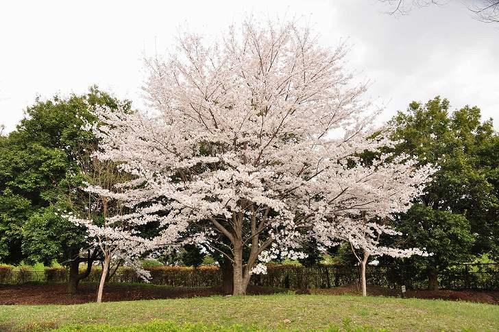 さいたま市営霊園 思い出の里 大きな桜の木が目を引く園内