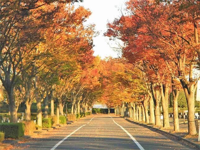 さいたま市営霊園 思い出の里 夕日に映える紅葉