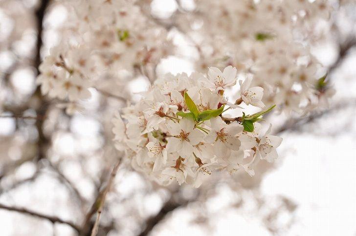 さいたま市営霊園 思い出の里 多くの桜の木がある園内