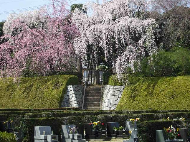 さいたま市営霊園 思い出の里 園内のしだれ桜