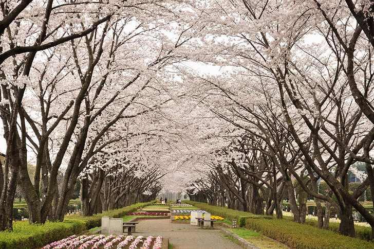 さいたま市営霊園 思い出の里 歩くのが楽しみな桜並木