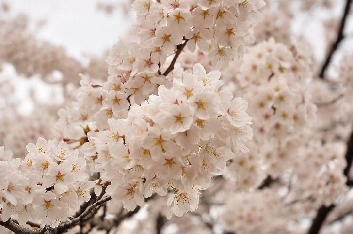 さいたま市営霊園 思い出の里 春には桜が満開