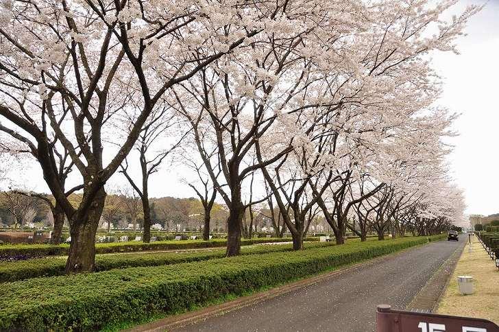 さいたま市営霊園 思い出の里 美しい桜並木