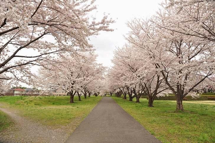 さいたま市営霊園 思い出の里 桜に囲まれた遊歩道