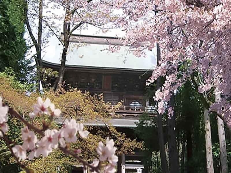 大本山 円覚寺 桜の花が咲き誇る境内